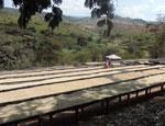 Impianto di caffè verde